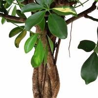thumb-Schefflera Arboricola gold capella - Vingerboom-3
