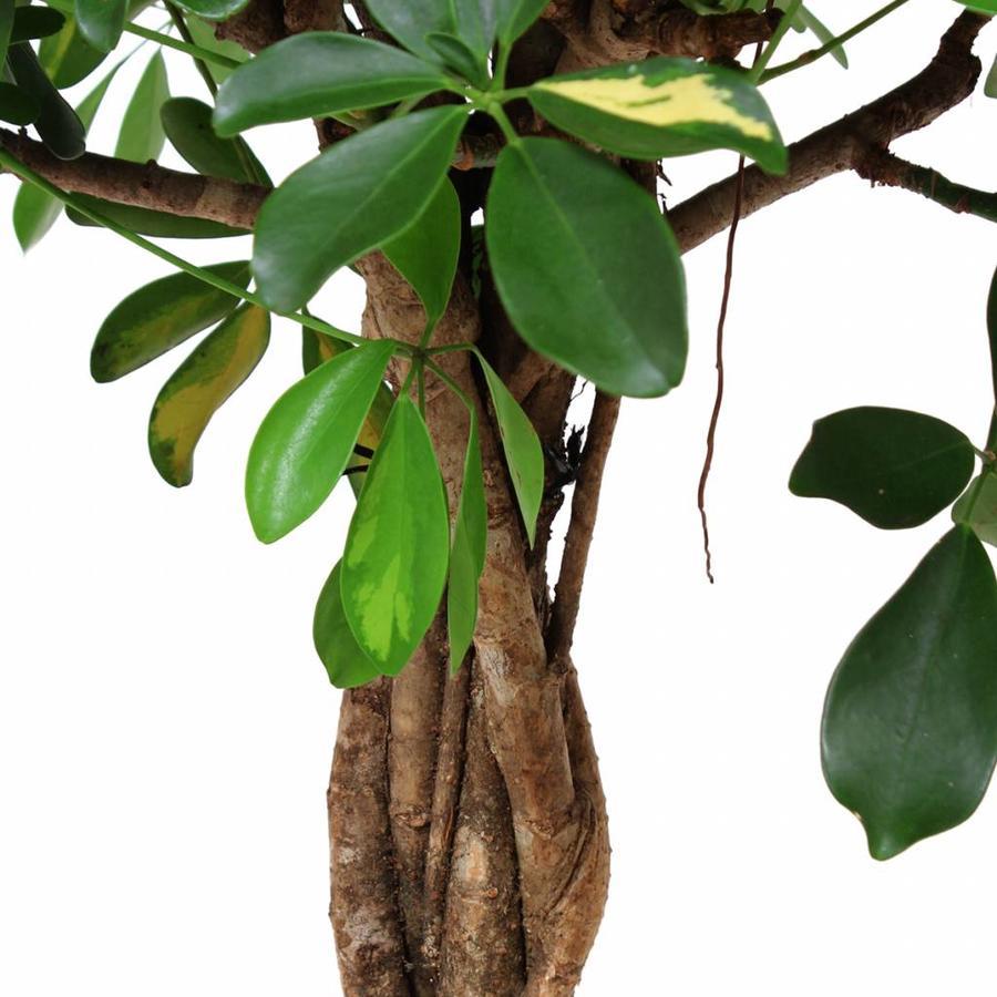 Schefflera Arboricola gold capella - Vingerboom - Met/zonder pot-4