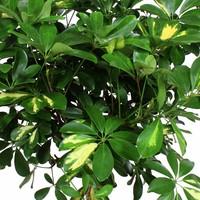 thumb-Schefflera Arboricola gold capella - Vingerboom - Met/zonder pot-3