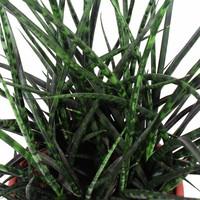 thumb-Sansevieria Fernwood Punk - Vrouwentong - 60cm-2