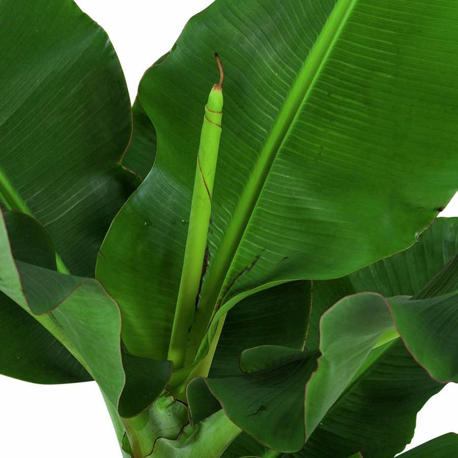 Musa - Bananenplant - Met of zonder pot-3