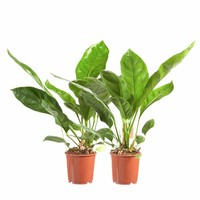 thumb-Anthurium Jungle King - 2 stuks-1