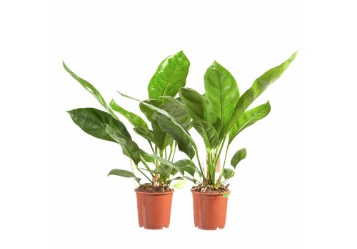 Anthurium Jungle King - 2 stuks