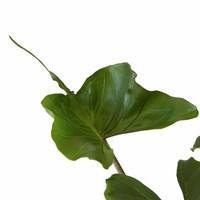 thumb-Alocasia Stingray - Olifantsoor - 45cm - 2 stuks-3