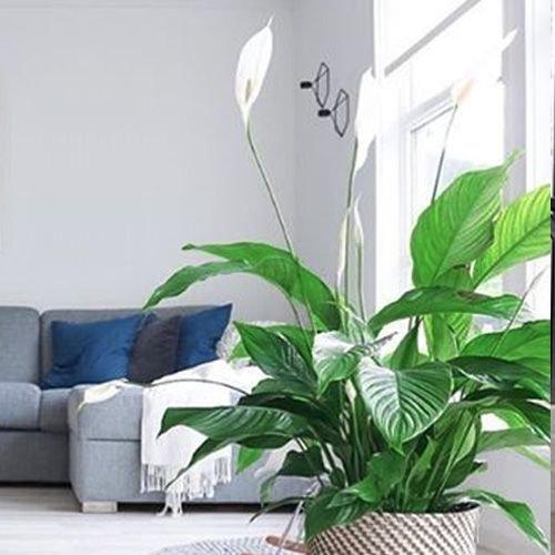 Spathiphyllum / Lepelplant