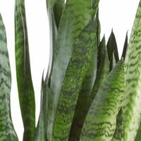 thumb-Sansevieria Zeylanica - Vrouwentong - 50cm-2