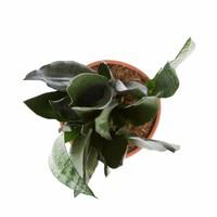 thumb-Sansevieria Zeylanica - Vrouwentong - 50cm-3