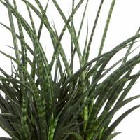 thumb-Sanseveria Fernwood Punky - Vrouwentong - 60cm-2