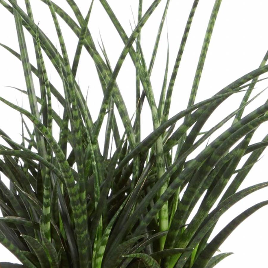Sanseveria Fernwood Punky - Vrouwentong - 60cm-2