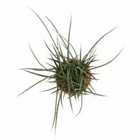 thumb-Sanseveria Fernwood Punky - Vrouwentong - 60cm-3