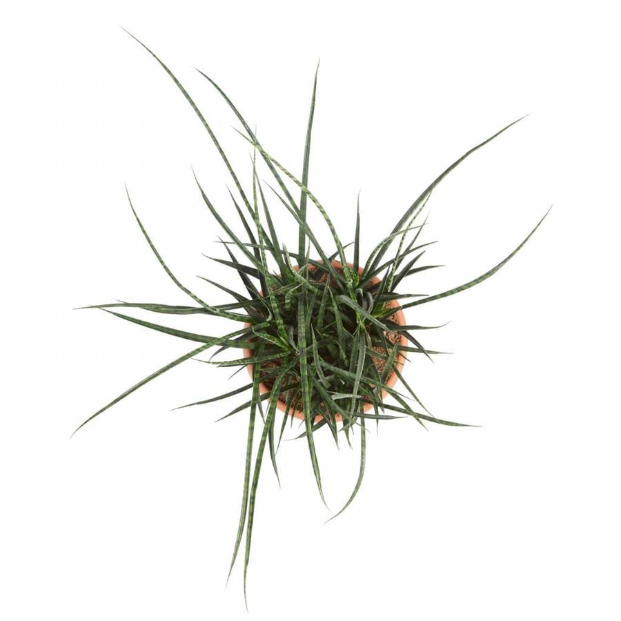 Sanseveria Fernwood Punky - Vrouwentong - 60cm-3
