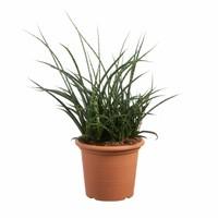 thumb-Sanseveria Fernwood Punky - Vrouwentong - 60cm-1
