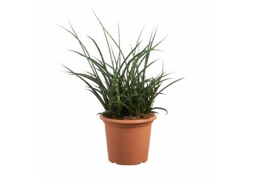 Sanseveria Fernwood Punky - Vrouwentong - 60cm