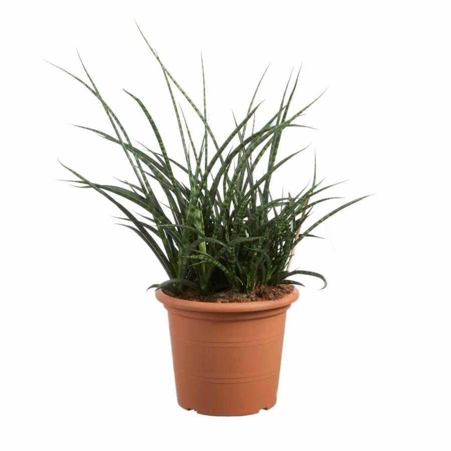 Sanseveria Fernwood Punky - Vrouwentong - 60cm-1