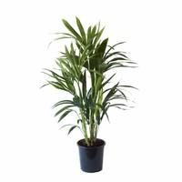 thumb-Howea - Kentia Palm - 90cm-1