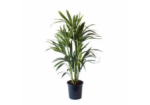 Howea - Kentia Palm - 90cm
