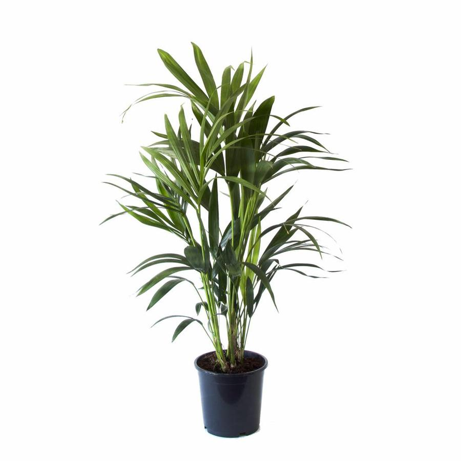 Howea Kentia Palm - 90-110-125 cm - Met of zonder pot-5