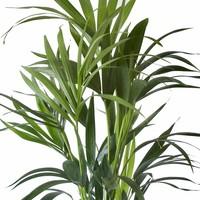 thumb-Howea Kentia Palm - 90-110-125 cm-3