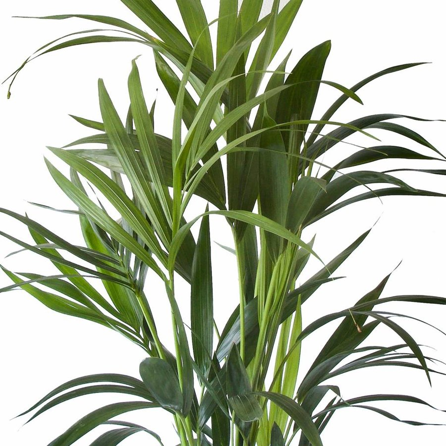 Howea Kentia Palm - 90-110-125 cm - Met of zonder pot-3
