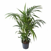 thumb-Howea Kentia Palm - 90-110-125 cm - Met of zonder pot-4