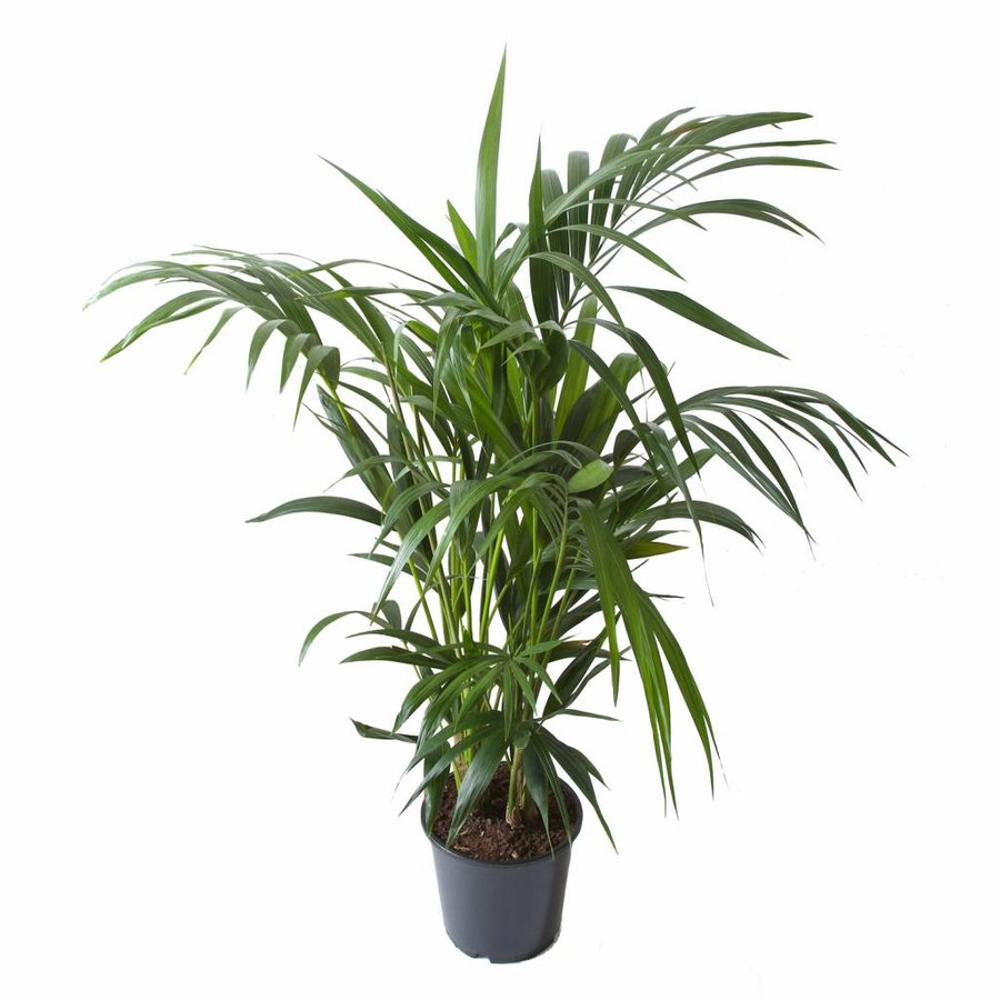 Howea Kentia Palm - 90-110-125 cm - Met of zonder pot-4