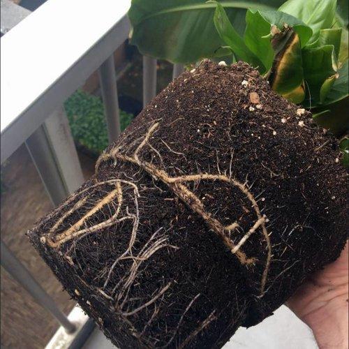 Heeft mijn plant te veel water gehad?