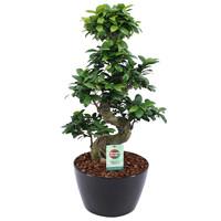 thumb-Ficus Gin Seng Bonsai-1
