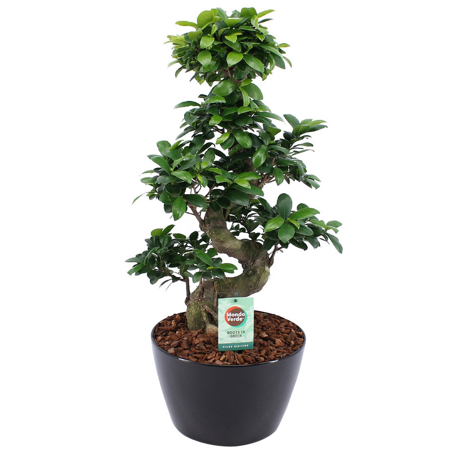 Ficus Gin Seng Bonsai-1