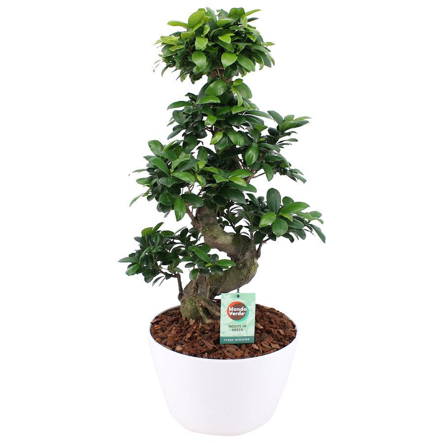 Ficus Gin Seng Bonsai-2