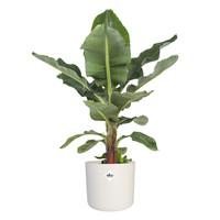 thumb-Musa - Bananenplant - Met of zonder pot-1