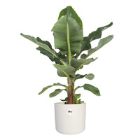 thumb-Musa Ingens - Bananenplant-1