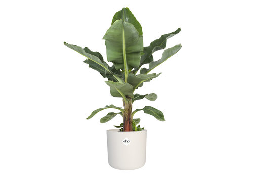 Musa - Bananenplant - Met of zonder pot