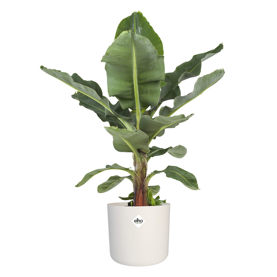 Musa Ingens - Bananenplant-1