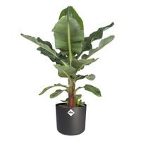 thumb-Musa Ingens - Bananenplant-2