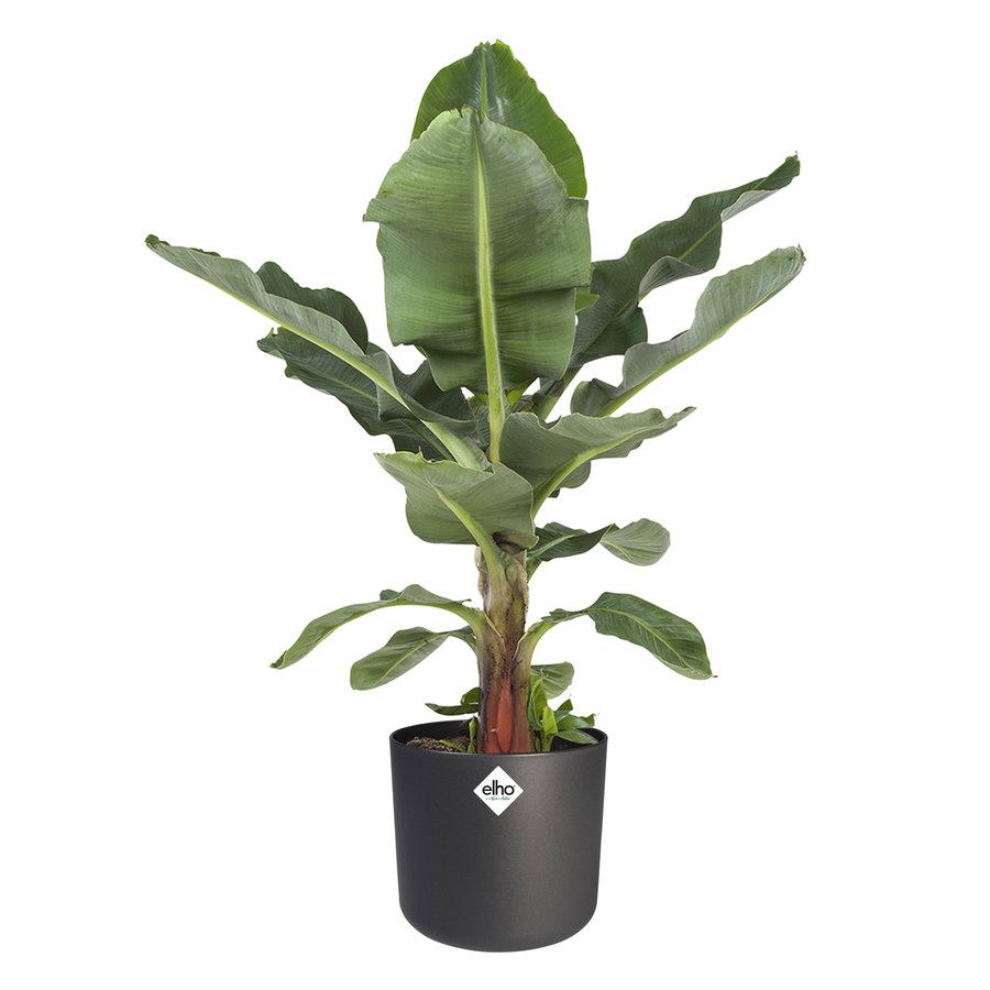Musa - Bananenplant - Met of zonder pot-2