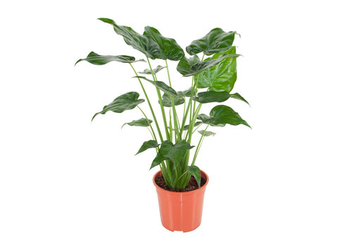 Alocasia Cucullata - Olifantsoor - 100 cm