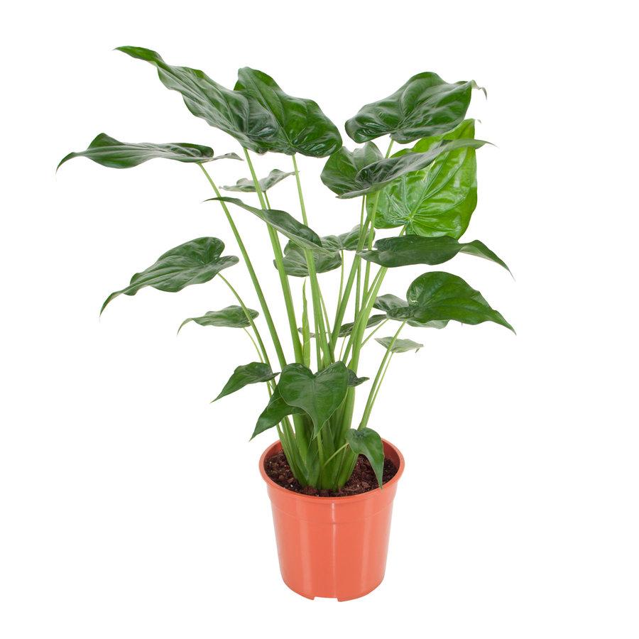 Alocasia Cucullata - Olifantsoor - 100 cm-1