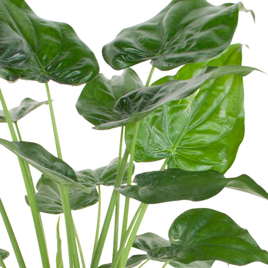 Alocasia Cucullata - Olifantsoor - 100 cm-2