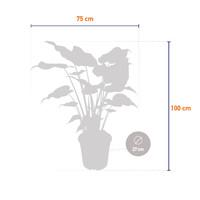thumb-Alocasia Cucullata - Olifantsoor - 100 cm-4