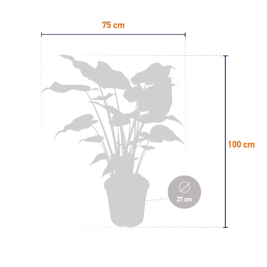 Alocasia Cucullata - Olifantsoor - 100 cm-4