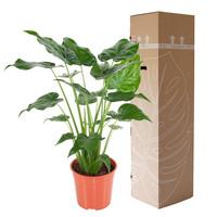 thumb-Alocasia Cucullata - Olifantsoor - 100 cm-3