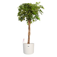thumb-Schefflera Arboricola gold capella - Vingerboom - Met/zonder pot-1