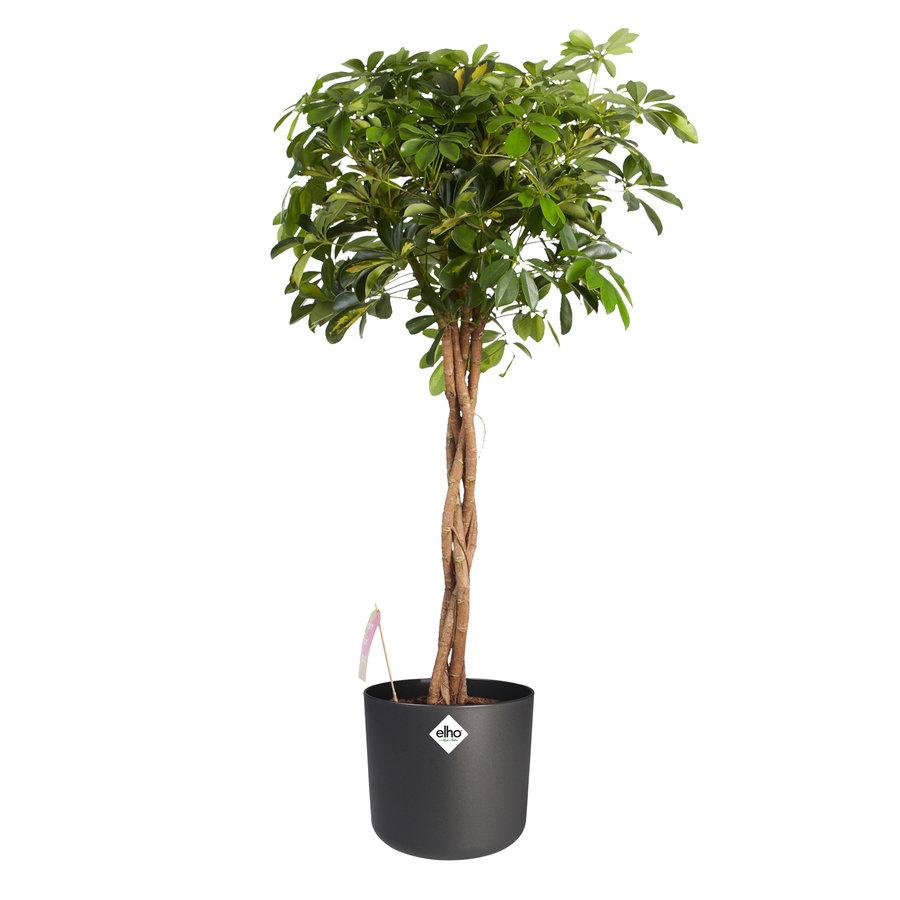 Schefflera Arboricola gold capella - Vingerboom - Met/zonder pot-2