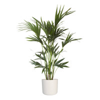 thumb-Howea Kentia Palm - 90-110-125 cm - Met of zonder pot-1