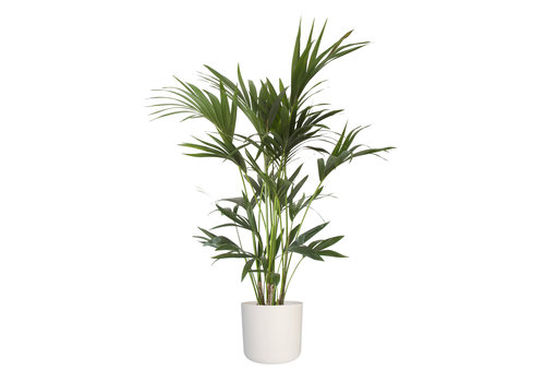 Howea Kentia Palm - 90-110-125 cm - Met of zonder pot