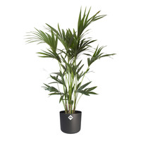 thumb-Howea Kentia Palm - 90-110-125 cm - Met of zonder pot-2