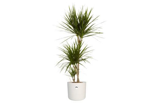 Dracaena Marginata - Drakenbloedboom - 105-125cm - Met of zonder pot