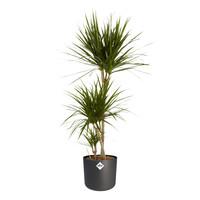 thumb-Dracaena Marginata - Drakenbloedboom - 105-125cm - Met of zonder pot-2