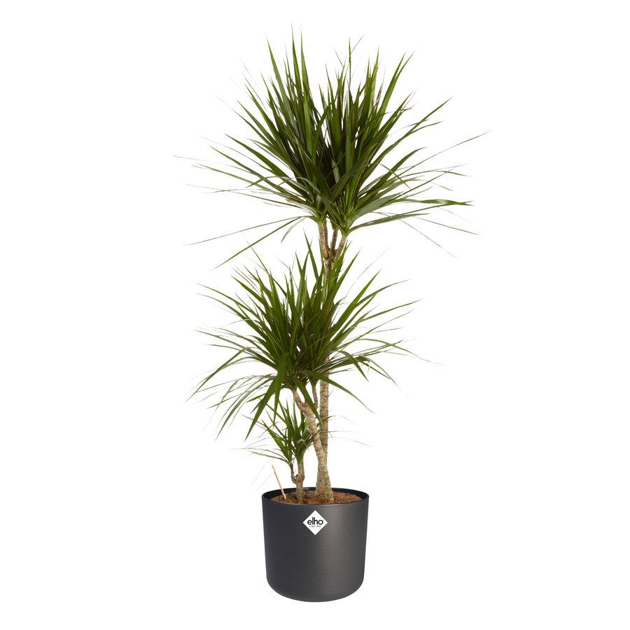 Dracaena Marginata - Drakenbloedboom - 105-125cm - Met of zonder pot-2
