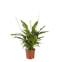 thumb-Lepelplant Spathiphyllum Vivaldi (17x70 cm)-1